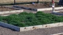 green manure, cover crops